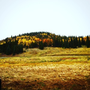 Aspen trees changing colors. Photo taken by me